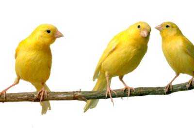 Es gibt nicht nur gelbe Kanarienvögel.