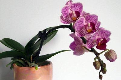 Orchideen im kleinen Topf benötigen weniger Wasser.