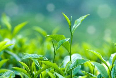 Grünen Tee erfolgreich gegen Pickel einsetzen.