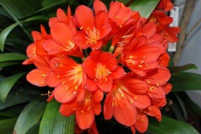 Schon früh im Jahr blüht die Clivia.