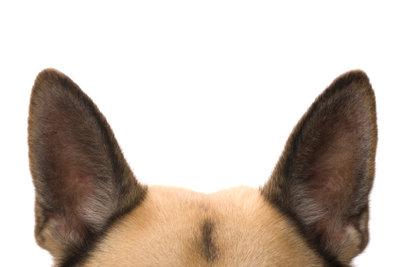Gepflegte Hundeohren sind wichtig.