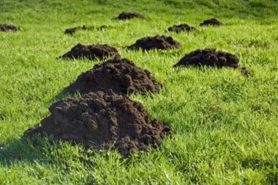 Unter den Löchern im Rasen steckt nicht immer ein Maulwurf.