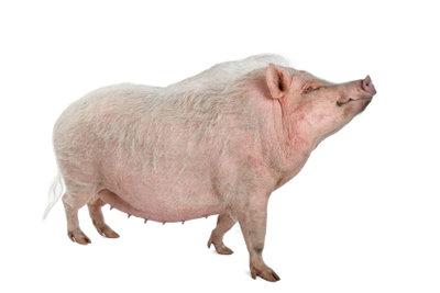 Zwergschweine sind soziale und intelligente Tiere.