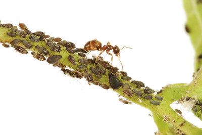 Ameisen verbreiten die Blattläuse im Garten.