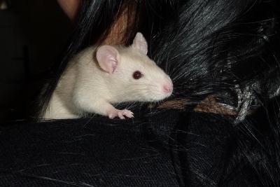 Im Rattenkäfig fühlen sich die Haustiere wohl.
