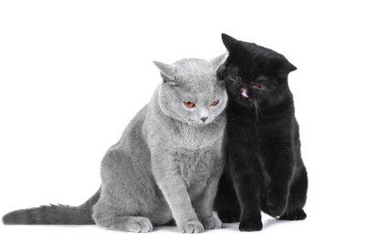 Der Kater umschmust die Katze.
