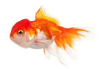 Goldfische müssen oft gefüttert werden.