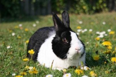 Ein Kaninchenmotiv für ein selbst gemachtes Quartett