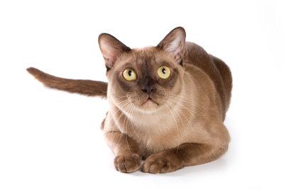 Der Tierarzt behandelt Katzenpilz.