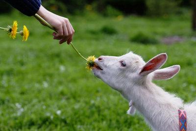 Zehn zahme Ziegen sind ein Zungenbrecher.