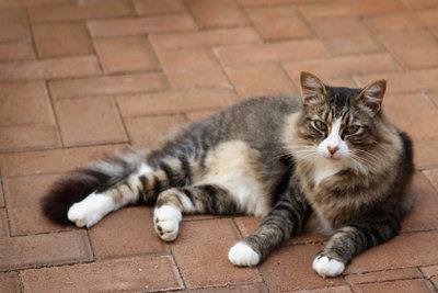 Die Maine Coon ist eine stolze Katze.