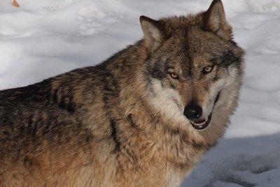 Der Wolf ist in WoW ein Reittier.