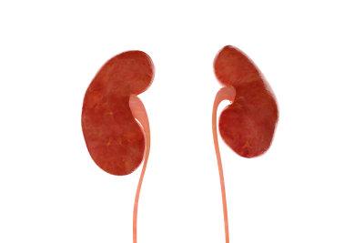So sehen die Nieren aus - aber wo befinden sie sich?