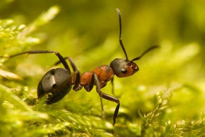 Ameisen verteidigen sich mit Ameisensäure.