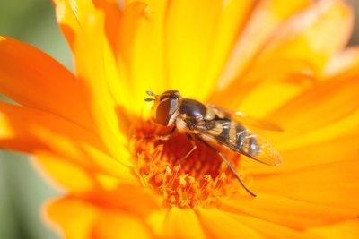 Auch Wespen nutzen Blumen als Nahrungsquelle.