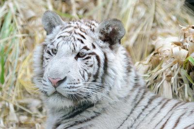 Verkleiden Sie sich als Weißer Tiger.
