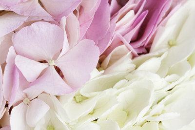 Hortensien haben romantische, zarte Blüten.