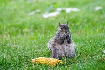 Popcorn besteht aus Mais.