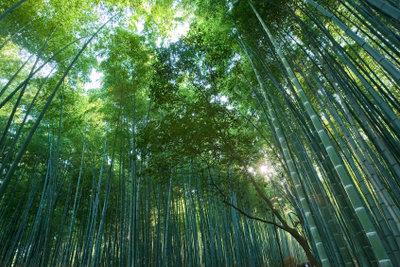 Manche Bambusarten wachsen bis zu 1 m am Tag.