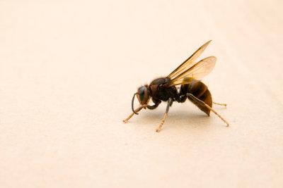 Der Wespenstich kann tödlich enden.