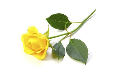 Nicht nur rote, sondern auch gelbe Rosen haben eine symbolische Bedeutung.