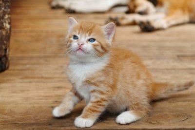 Katzenurin lässt sich mit etwas Aufwand auch von Parkettboden entfernen.