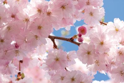 Blühende Kirschbäume sind äußerst dekorativ.