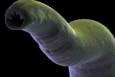Der Bandwurm kann großen Schaden anrichten.