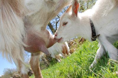 Ist Ziegenmilch auch für Menschenbabys geeignet?