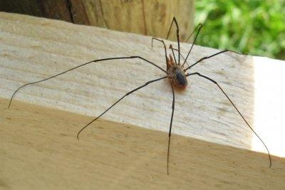 Die langen Beine der Zimmermann-Spinne sind charakteristisch.