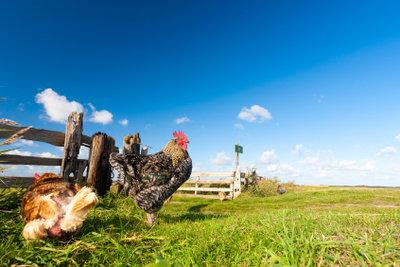 Flöhe im Hühnerstall müssen beseitigt werden.