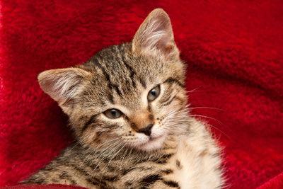 Oft machen Katzenbabys den Milchtritt.