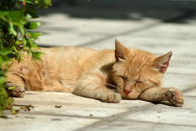 Die Hitze kann der Katze gefährlich werden.