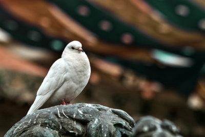 Die weiße Taube - ein Symbol für Frieden.