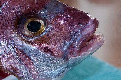 Mit Fisch zähmen Sie den Ozelot.