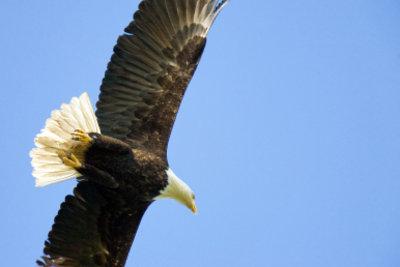Auch Adler besitzen Schwungfedern.
