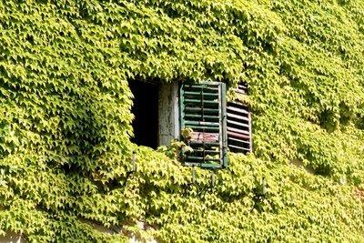 Entfernen Sie infizierte braune Blätter so schnell wie möglich.