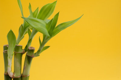Der Double Luck Bamboo bringt extra viel Glück.