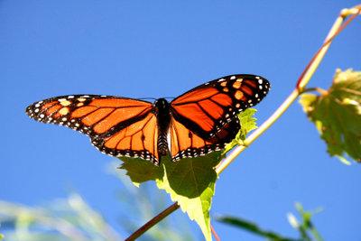EIn fragiler Schmetterling - als Raupe sehr gefräßig.
