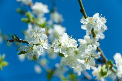 Pflaumenbäume blühen sehr schön.