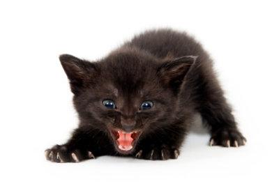 Die Katze faucht als Zeichen der Abwehr.