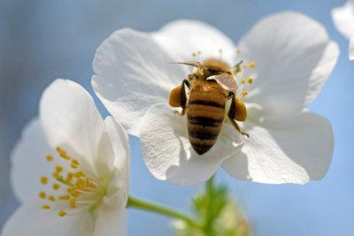 Der Mensch verdankt das wertvolle Propolis den fleißigen Bienen.