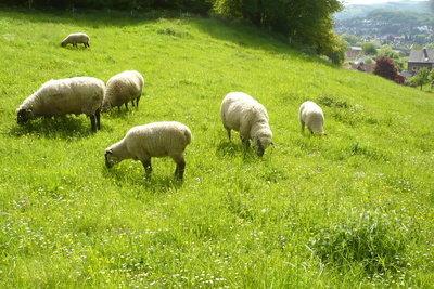 Schafe lassen sich relativ einfach fangen.