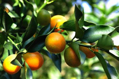 Der Kumquat heißt auch Zwergorange.