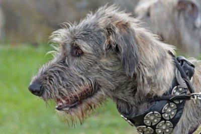 Der irische Wolfshund ist die bekannteste Rasse.