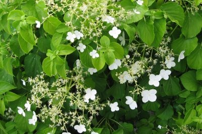 Gesunde Kletterhortensien zieren jeden Garten.