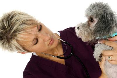 Der Tierarzt kann der Hündin helfen.