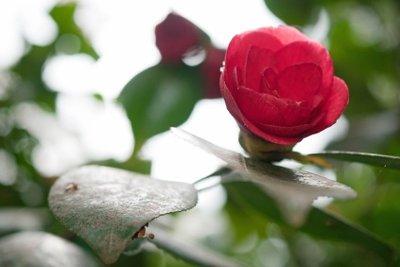 Kamelien haben rosenartige Blüten.