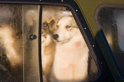 Hundegeruch setzt sich im Auto hartnäckig fest.
