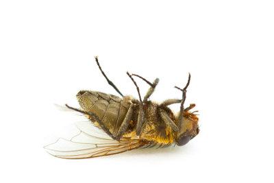 Essigmücken sind lästig, aber leicht zu bekämpfen.